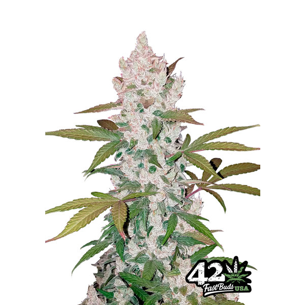 420 Fast Buds 420 Fast Buds Girl Scout Cookies Auto-Fem 5 pk