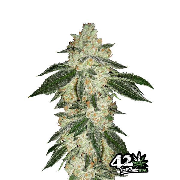 420 Fast Buds 420 Fast Buds Green Crack Auto-Fem 5 pk