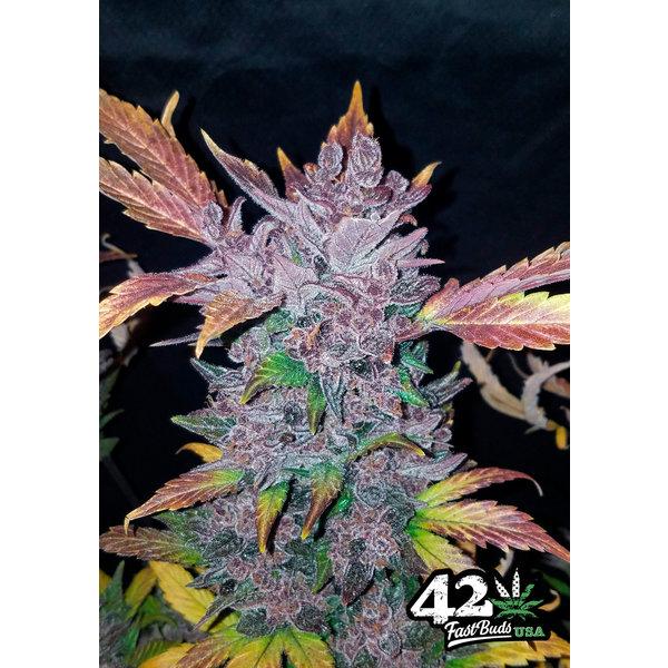 420 Fast Buds 420 Fast Buds LSD-25 Auto-Fem 5 pk