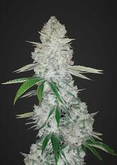 Hybrid Auto Flower