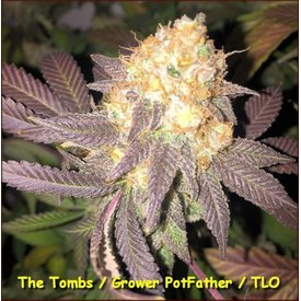 Kingdom Organic Seeds Kingdom Organic Seeds The Tombs Reg 5 pk