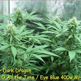 Kingdom Organic Seeds Kingdom Organic Seeds Dark Dragon Reg 5 pk