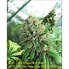 Kingdom Organic Seeds Dark Dragon Reg 5 pk