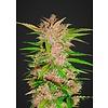420 Fast Buds Fastberry Auto-Fem 5 pk