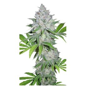 420 Fast Buds Californian Snow Auto-Fem 5 pk