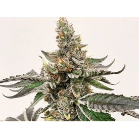 Exotic Genetix Strawberry Lemonade Reg 10 pk