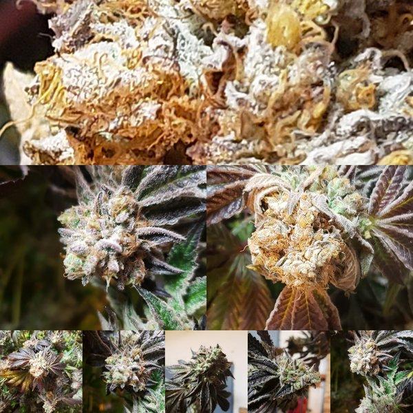 Michigan Marijuana Seed Club MMSC Buck A Bean Reg 50 pk