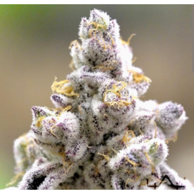 In House Genetics In House Platinum Kush Breath Remix 10+ Seeds Fem
