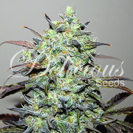 Delicious Seeds Eleven Roses Early Version Fem 5 pk