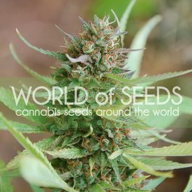 World of Seeds World of Seeds Strawberry Blue Early Version Fem 7 pk