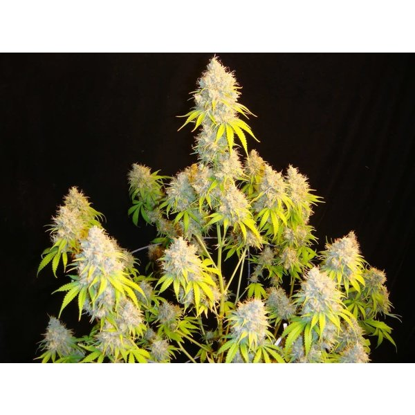 Mosca Seeds Indiana Bubble Gum S1 Fem 8 pk