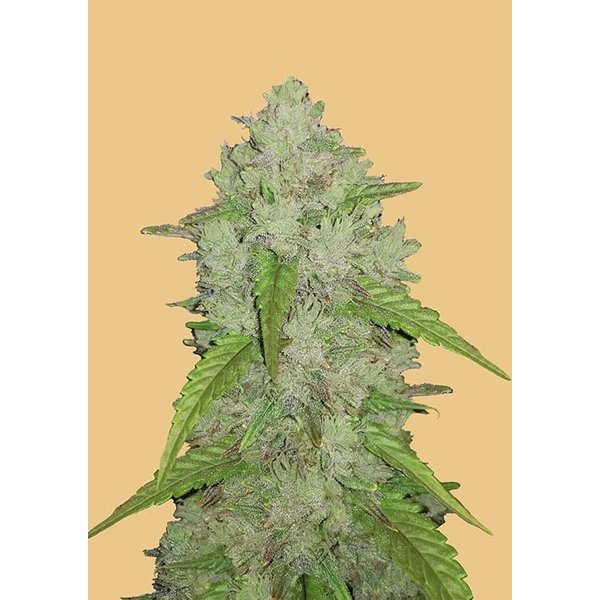 420 Fast Buds 420 Fast Buds Original Auto Amnesia Haze Fem 5 pk