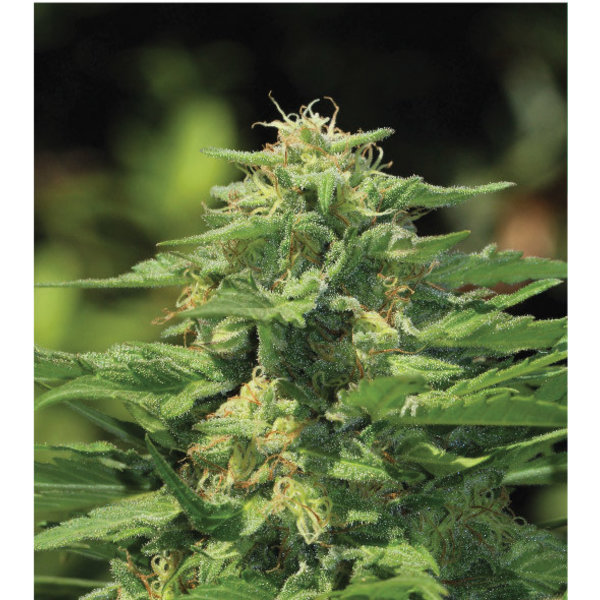 Humboldt Seed Company Dream Queen Reg 20 pk