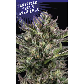 Humboldt Seed Company Notorious THC Fem 10 pk