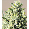 Humboldt Seed Company Old Growth OG Reg 20 pk