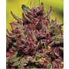 Humboldt Seed Company Purple Mountain Majesty Fem 10 pk