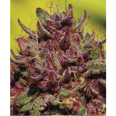 Purple Mountain Majesty Fem 10 pk