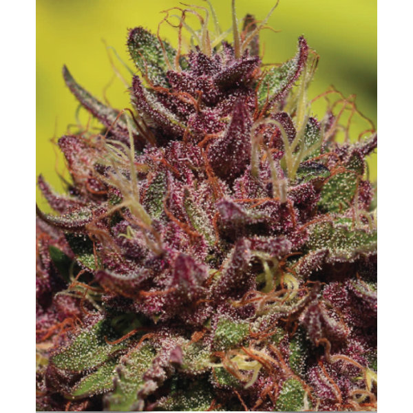 Humboldt Seed Company Purple Mountain Majesty Fem 10 pk