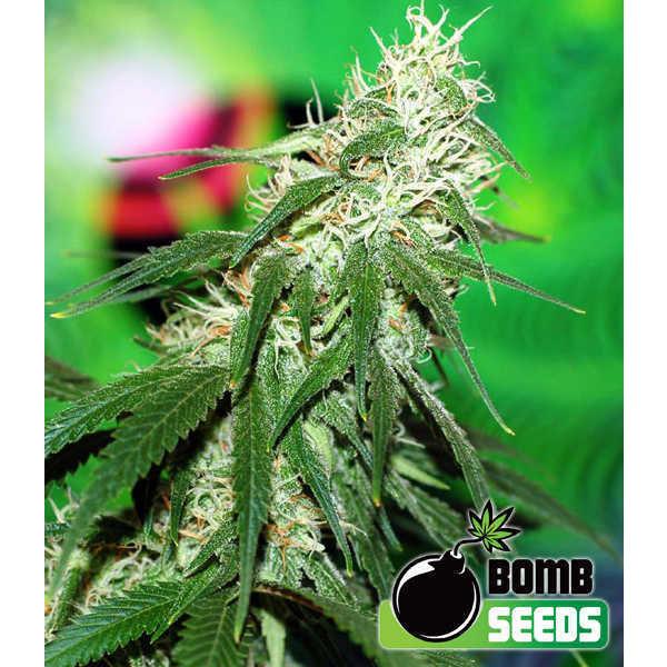 Bomb Seeds Buzz Bomb Fem 5 pk