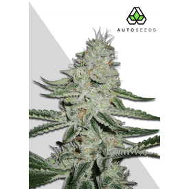 Auto Seeds DreamBerry Auto Fem 5 pk