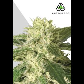 Auto Seeds #1 Auto-Fem 5 pk