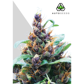 Auto Seeds Purple Stilton Auto Fem 5 pk