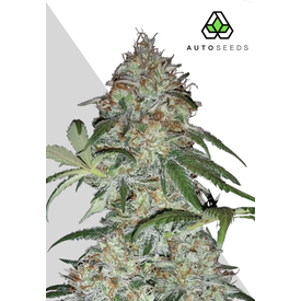 Auto Seeds Auto Seeds Sucker Punch Auto Fem 5 pk