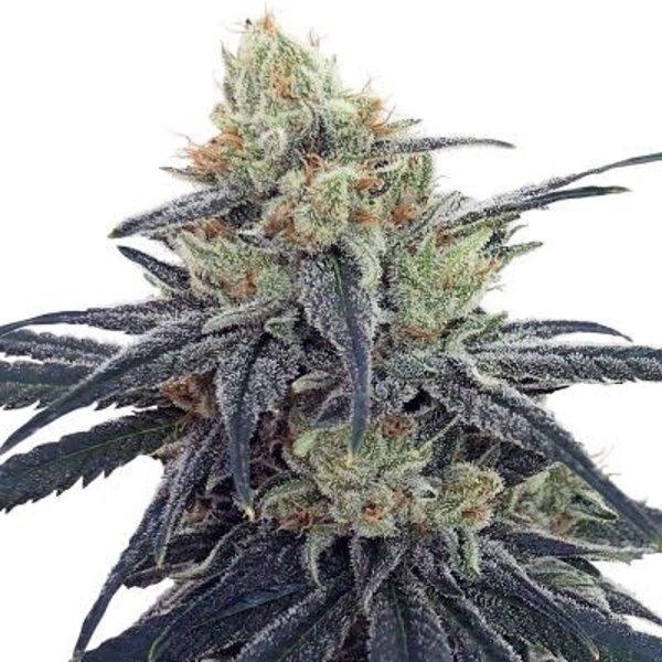 Ace Seeds CBD #1 Fem 5 pk