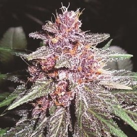 Ace Seeds Violeta Fem 5 pk