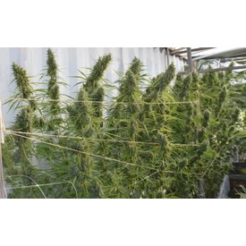 Ace Seeds Super Malawi Haze Fem 5 pk