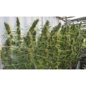 Ace Seeds Super Malawi Haze Fem 5 pk