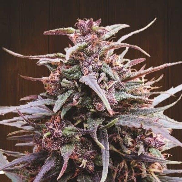 Ace Seeds Purple Haze x Malawi Fem 5 pk