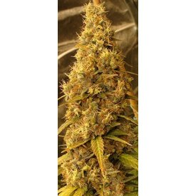 Ace Seeds Panama Haze Fem 5 pk