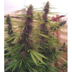 Ace Seeds Panama Fem 5 pk