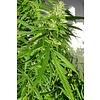Ace Seeds Green Haze Reg 10 pk