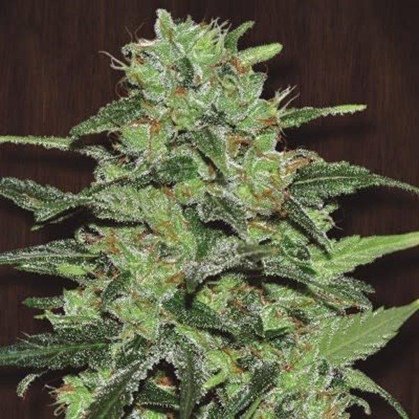 Ace Seeds Malawi Fem 5 pk