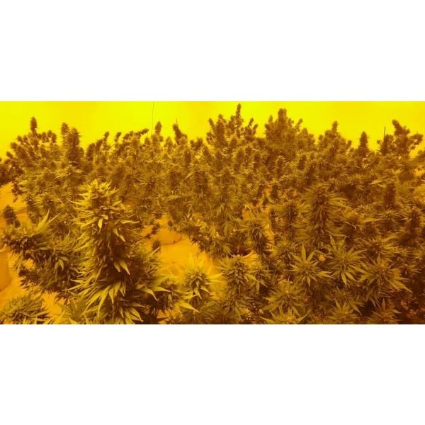Ace Seeds Ace Seeds Morocco Beldia Kif Reg 10 pk