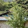 Ace Seeds Nepal Annapurna Reg 10 pk