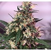 Ace Seeds Orient Express Reg 10 pk