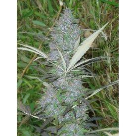 Ace Seeds Panama Reg 10 pk