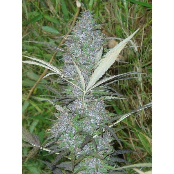 Ace Seeds Ace Seeds Panama Reg 10 pk