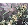 Ace Seeds Panama x Bangi Haze Reg 10 pk