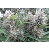 Ace Seeds Super Malawi Haze Reg 10 pk