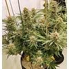 Ace Seeds Zamaldelica Reg 10 pk