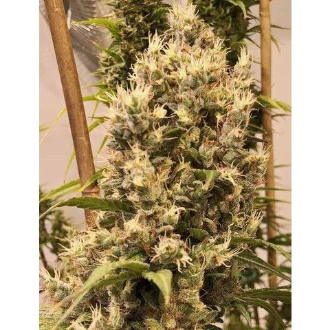 Ace Seeds Bangi Congo x Panama Fem 5 pk