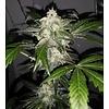 Ace Seeds Bubba Kush x Nepal Jam Fem 5 pk