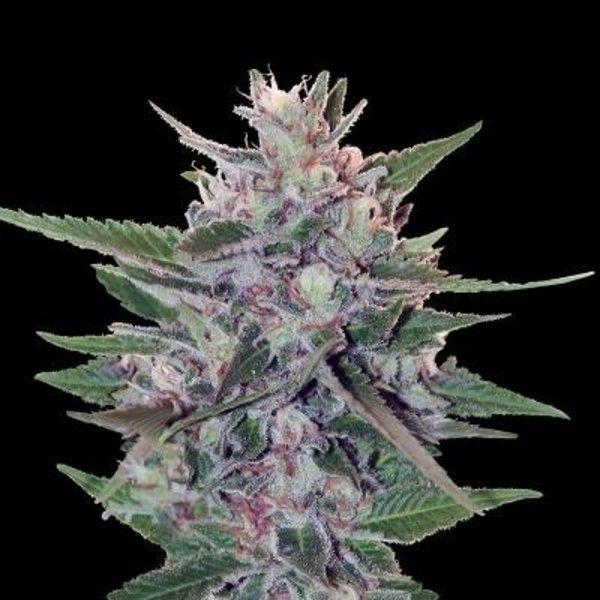Ace Seeds Hash Plant S1 Fem 5 pk