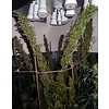 Ace Seeds Mauritius x Ethiopian Reg 10 pk