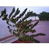 Ace Seeds Nepal Mist Reg 10 pk