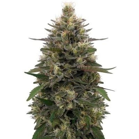 Ace Seeds Pakistani Skunk Fem 5 pk